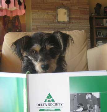 Harriette Houdini studying for her Delta Society test.